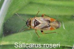 Salicarus roseri