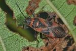 Arocatus roeselii