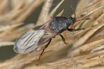 Dimorphopterus spinolae