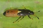 Dimorphopterus spinolae Larve