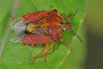 Carpocoris purpureipennis
