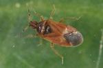 Cardiastethus fasciiventris